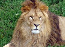 "Компания ""Good Light"" взяла шефство над львом. Фото 1"